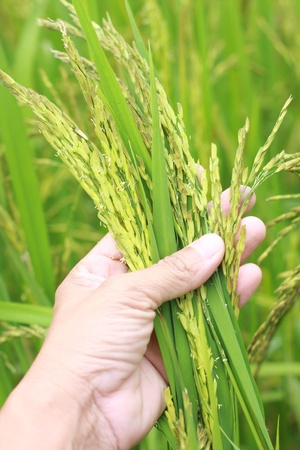 rice fields: rice