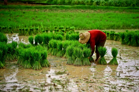 field of thai: thai farmer
