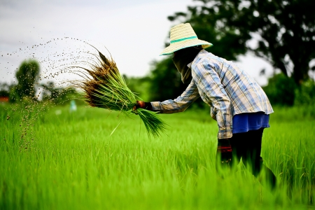 rice plant: thai farmer