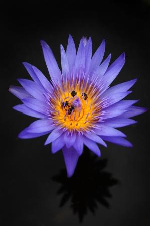 bee on the lotus photo