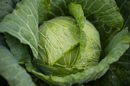 rowth: cabbage