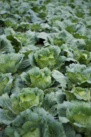 rowth: cabbage farm Stock Photo