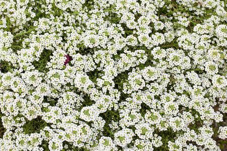 ox eye: white flower