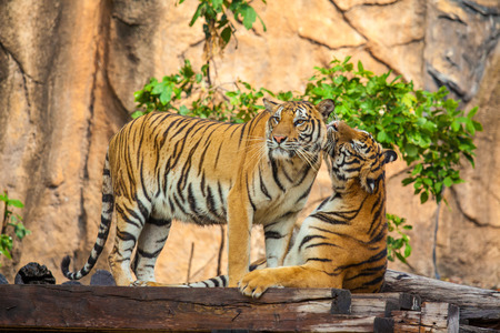 tigers at the zoo