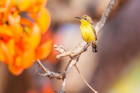 sunbird: Olivebacked sunbird (Yellowbellied sunbird) Stock Photo