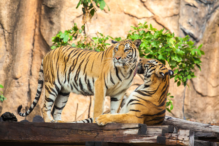 tigers at the zoo photo