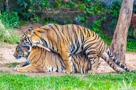 purr: Breeding tigers in the zoo