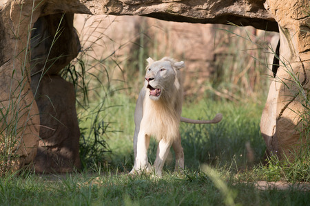 beautiful rare: white lion at the zoo ,thailand.