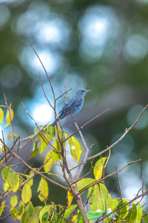 thrush: Blue rock thrush.