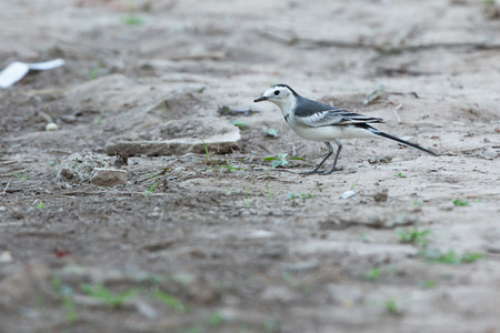 motacillidae: White Wagtail Motacilla alba on tropical forest  thailand. Stock Photo