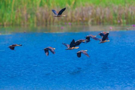 lesser: Lesser whistling duck, Indian whistling duck, Lesser whistling teal, Tree duck