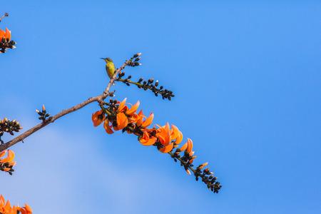 Olive-backed Sunbird; Cinnyris jugularis.