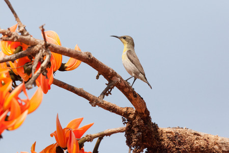 sunbird: Olive-backed sunbird, Yellow-bellied sunbird Stock Photo