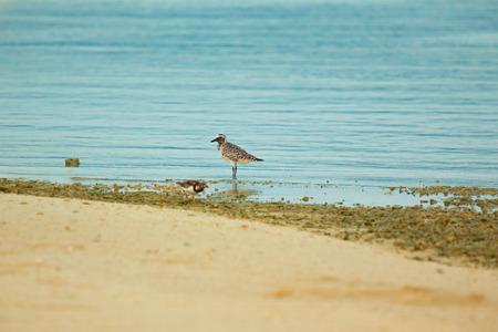 pluvialis: Lesser Sand Plover Stock Photo