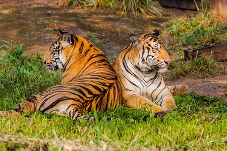 zoologico: dos de tigre en el zool�gico, Tailandia.