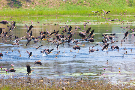 wetland conservation: Lesser whistling duck, Indian whistling duck, Lesser whistling teal, Tree duck
