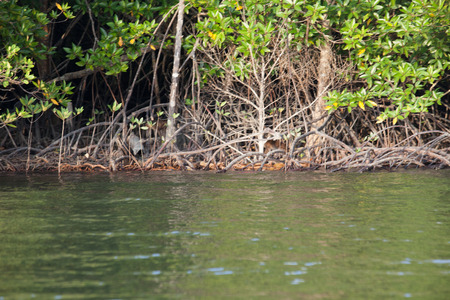 southern of thailand: Mangrove forests in southern Thailand.