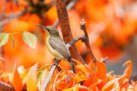 sunbird: Olivebacked sunbird Yellowbellied sunbird Stock Photo