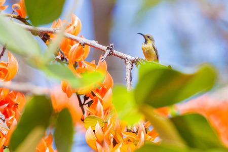 sunbird: Olivebacked sunbird Yellowbellied sunbird. Stock Photo
