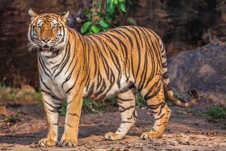 A large Indochinese tiger in the zoo.