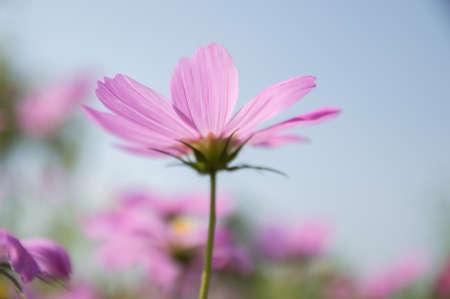 hidef: Pink flower in sunshine day