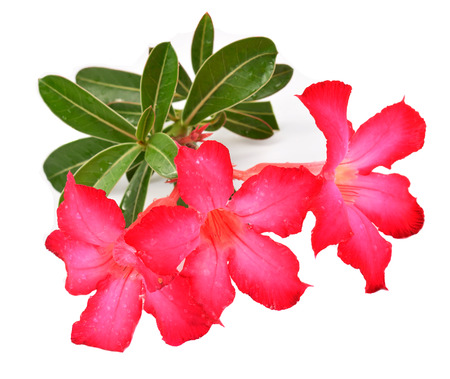 obesum: Pink Adenium obesum on white background