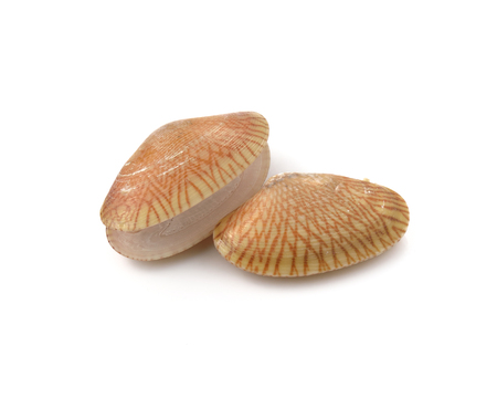 necked: Closeup fresh raw Surf clam isolated, Surf clam, Short necked clam, Carpet clam, Venus shell, Baby clam, Paphia undulata Stock Photo