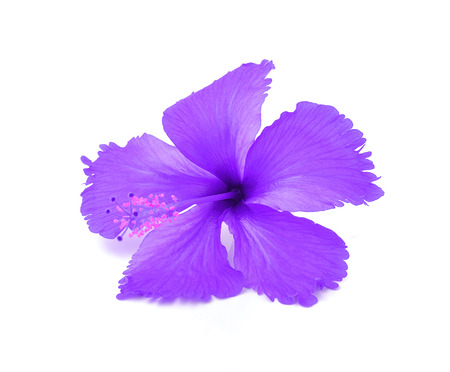 frilly: studio shot frilly violet  petals of exotic red hibiscus flower on white