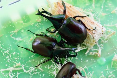 horn beetle: Rhinoceros beetle, Rhino beetle, Hercules beetle, Unicorn beetle, Horn beetle isolated