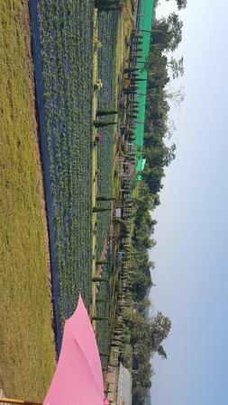 Seedlings Strawberry