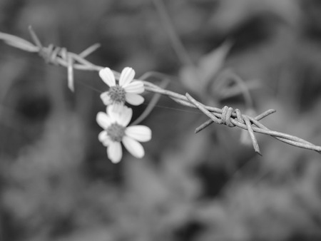 Barbed wire and flowers in black and white Banco de Imagens