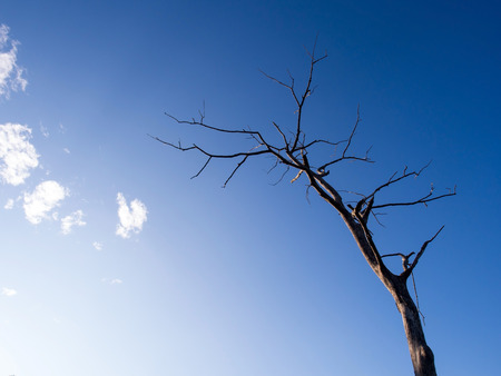 branched: Dry branched tree under blue sky