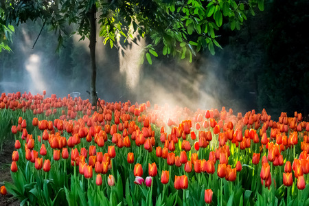 Tulip is beautiful and expensive flower in Thailand photo