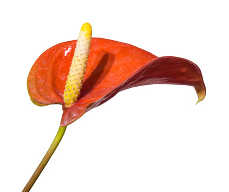 フラミンゴの花や Authurium は、白い背景に分離されたユニークな外観の花 写真素材