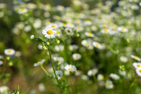 pollens: Small white flower with yellow pollens at road side
