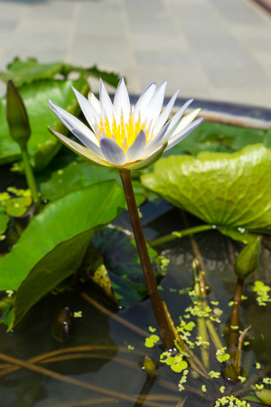 pollens: White lotus with yellow pollens in pond