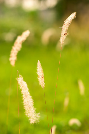 grass  flowers: Grass flowers on green field