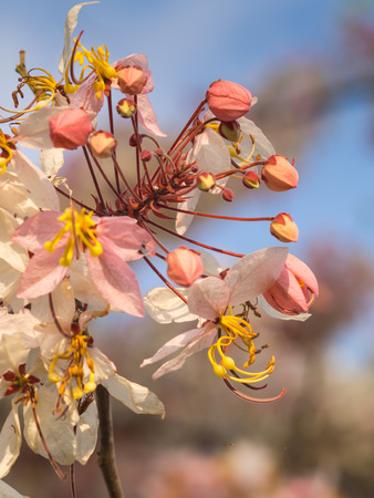 cassia: Pink cassia on tree in spring season