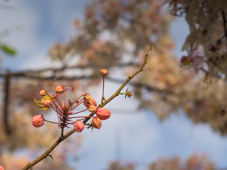cassia: Pink cassia on tree in spring season