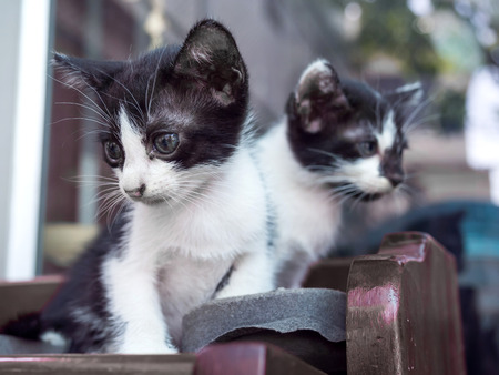 shoe shelf: Two black and white cute kittens sit on shoe shelf with outdoor natural light, selective focus on front ones eye