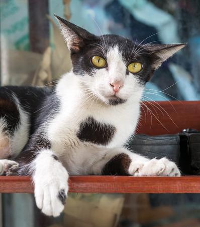 shoe shelf: Adult female cat lay on shoe shelf in outdoor corridor, selective focus on its eye Stock Photo
