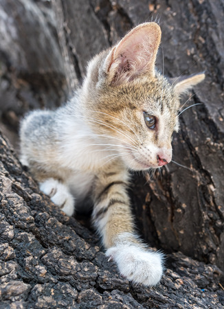 HESITATE: Little cute gray kitten try to climb down from outdoor tree with exciting feeling, selective focus on its eye