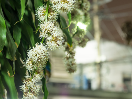 pollens: Cape of Good Hope flowers (Dracaena) only bloom at night, live in house for lucky and fortune, selective focus on some pollens with background blurring