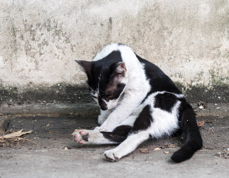 body grooming: Adult black and white cat grooming its body on outdoor concrete floor, selective focus on its eye Stock Photo