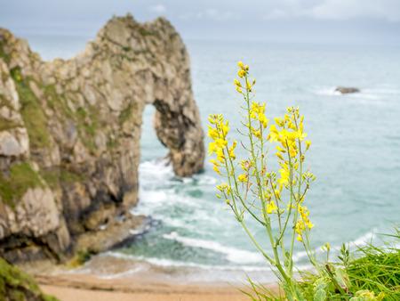 durdle door: Beautiful flowers at cliff at Durdle door and surroundings along coastline under cloudy sky in Dorset, England