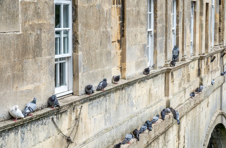pigeon owl: Flock of pigeons on window edges with owl doll in outside of bridge buildings in Bath, England.