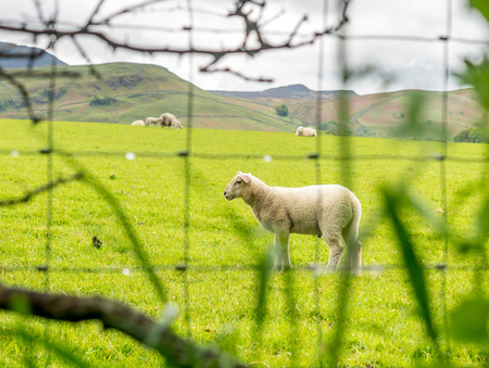 Cute sheep stand on green field behind blurring barbed wire foreground Stock Photo
