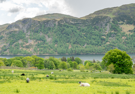 Sheep graze gress on green field in countryside of England with lake and mountain background