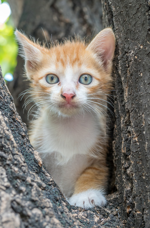 large tree: Little cute golden brown kitten climb up on outdoor large tree, selective focus on its eye Stock Photo