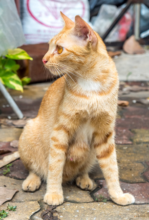 untidy: Adult golden brown cat sit on outdoor untidy backyard garden under natural light, selective focus on its eye